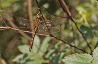 Dragonfly, fly, bug
