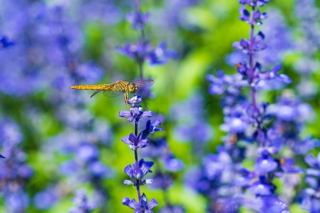 Dragonfly on lavender flower