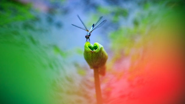 Dragonfly on nature lotus leaf