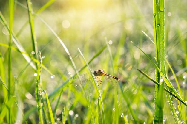 芝生と晴れた朝の露と緑の草の上にトンボ。