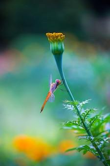 マリーゴールドの花のトンボ
