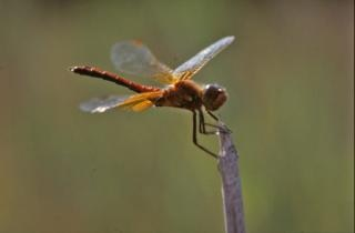Dragonfly, orange