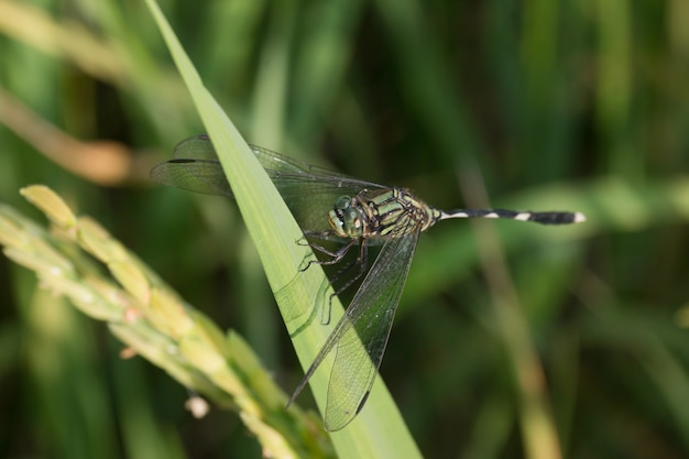 Dragonfly in paddy field