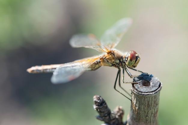 Dragonfly resting.