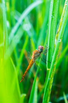 Dragonfly on rice field in the morning