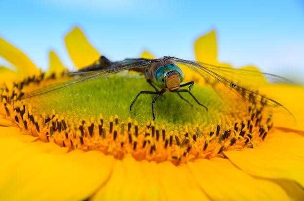 Dragonfly sat on a sunflower