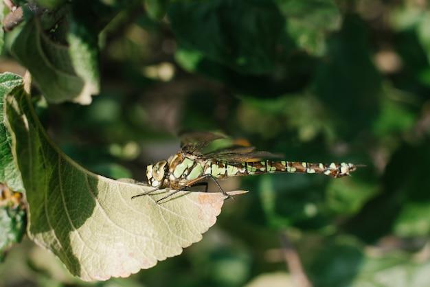 Стрекоза сидит на листе яблони в саду. натуральное фото стрекозы.