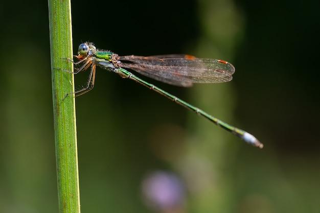 乾いた棒、野生生物に座っているトンボ。細い青いトンボが細い草の葉の上に座っています。焦点が合っていない。
