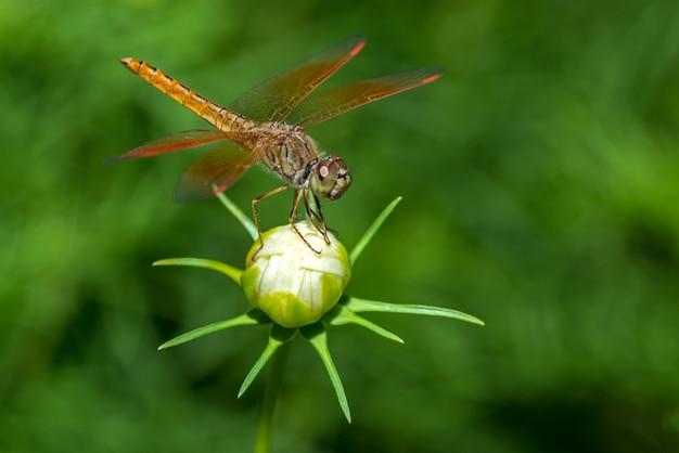 Стрекоза сидит на цветке крупным планом