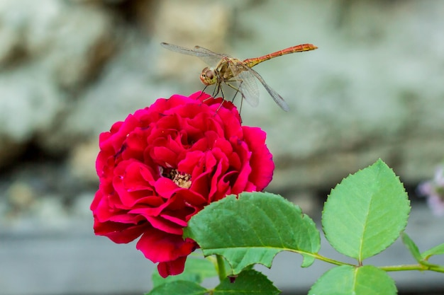 Dragonfly sitting on the red rose in garden, macro, natural background
