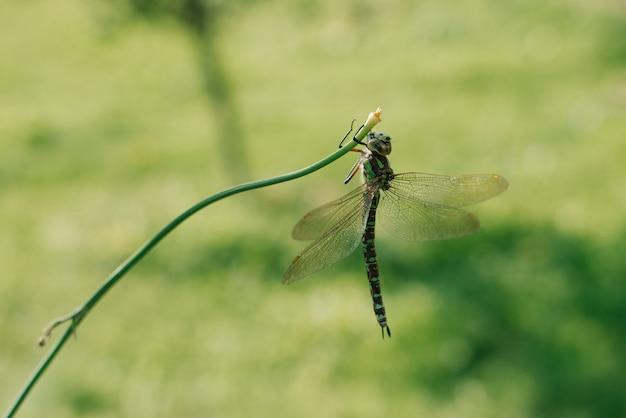 緑の草の背景に草の葉の上に立っているトンボ