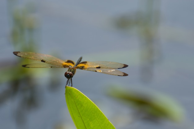 Dragonfly in yellow and black on a plant in wild blurred a green nature background