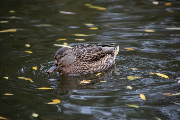 Drake ducks quills on the lake