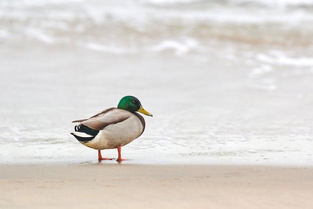 Утка селезня кряквы стоит на берегу балтийского моря