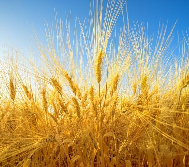 잘 익은 황금 스파이크, 넓은 각도 관점으로 밀밭에 극적인 근접 촬영
