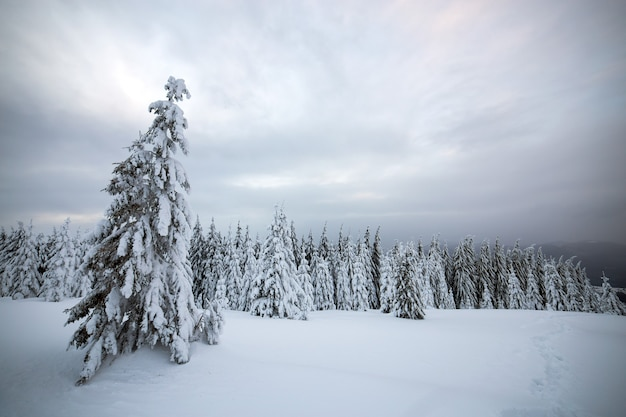 Dramatic winter landscape with spruce forest cowered with white snow in cold frozen mountains.
