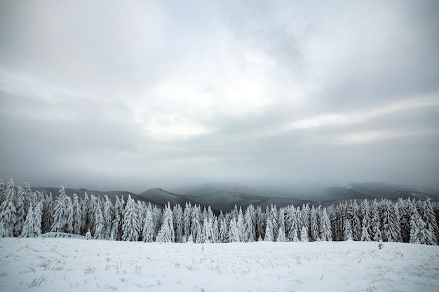 Dramatic winter landscape with spruce forest cowered with white snow in cold frozen mountains