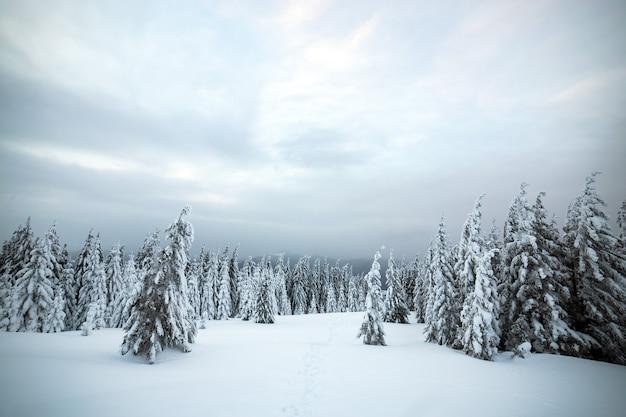 寒い凍った山々に白い雪が積もったトウヒの森のある劇的な冬の風景。