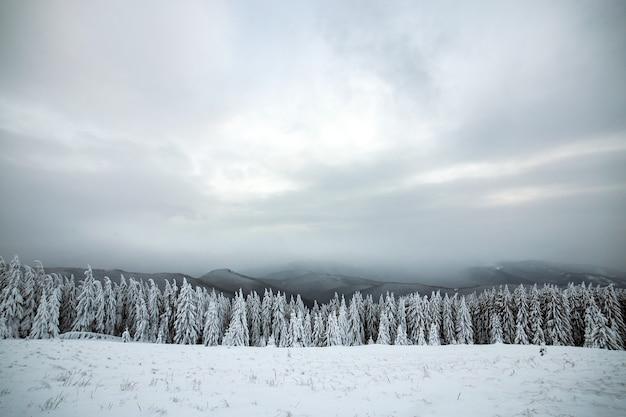 寒い凍った山々に白い雪が積もったトウヒの森のある劇的な冬の風景