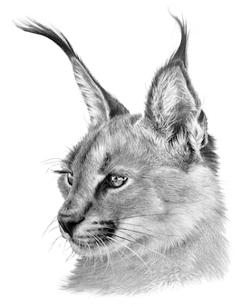 Drawing portrait of a caracal. wild big cat on white background. realistic handdrawing