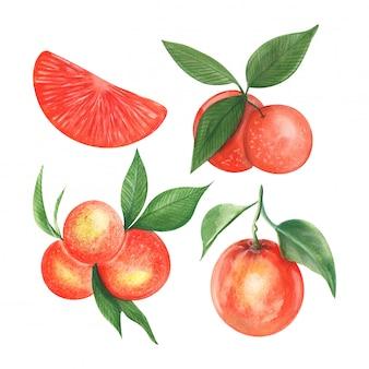 Drawing watercolor the fruits of mandarin orange