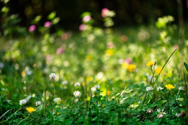무성한 녹색 잔디와 꽃 클로버 선택적 초점 화려한 꽃 잔디와 꿈꾸는 밝은 여름 배경