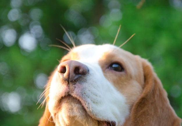 Dreamy thoughtful beagle puppy in the rays of sun light