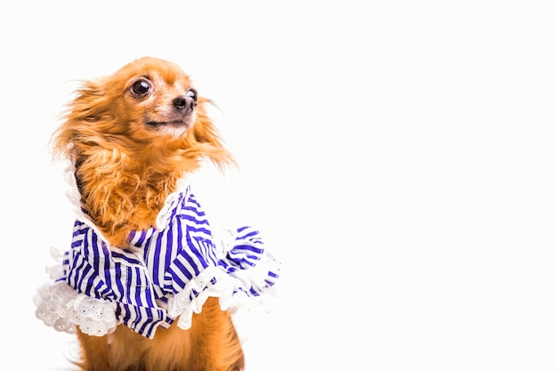 Dressed brown dog isolated on white background