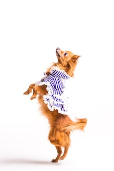 Dressed brown dog standing on hind legs isolated on white background