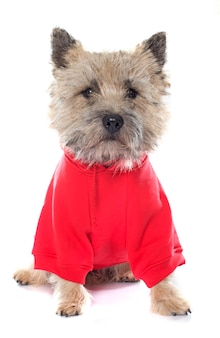 Dressed cairn terrier