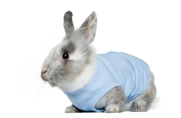 Dressed dwarf rabbit,