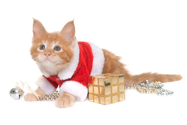 Одетый котенок мейн кун