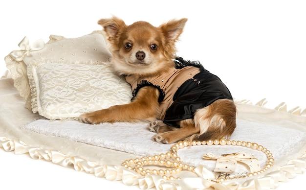 Одетый щенок чихуахуа, лежащий на ковре, изолированном на белом