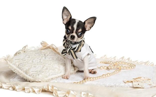 Dressed up chihuahua puppy sitting, looking at the camera, isolated on white