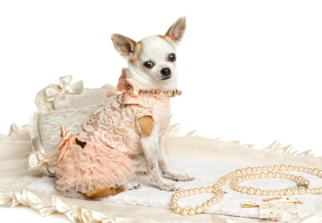 Одетый чихуахуа сидит, глядя в камеру, изолированную на белом