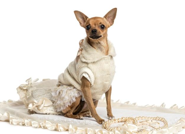 Одетый чихуахуа сидит на ковре, изолированном на белом
