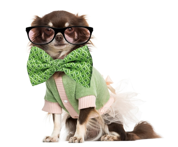 Dressed-up chihuahua wearing glasses and a bow tie isolated on white