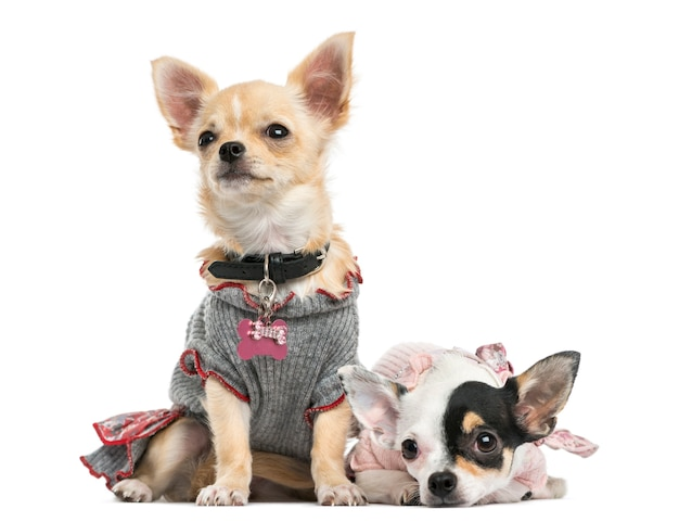 Dressed-up chihuahuas sitting and lying next to each other, isolated on white