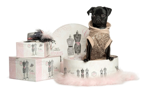 Dressed-up of a pug puppy in a clothes box isolated on white