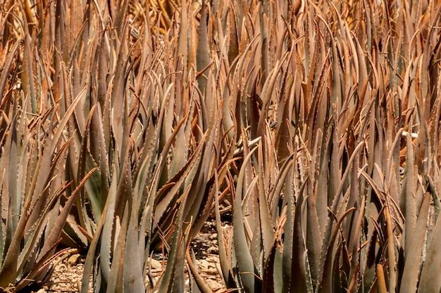 Dried aloe vera sunny day