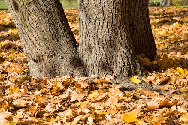 Засохшая и опавшая листва лиственных кленов в осенний сезон, настоящая осенняя природа днем в солнечную погоду