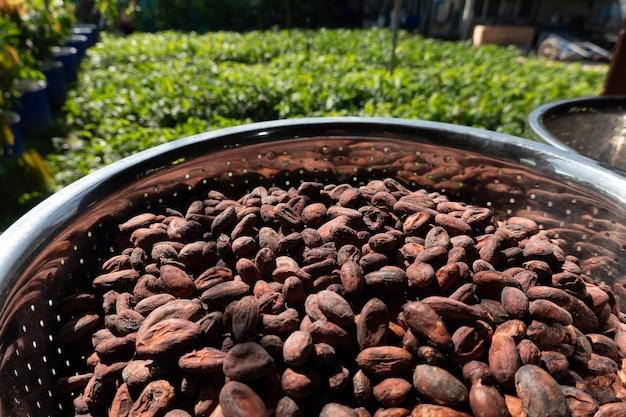Сушеные и вяленые на солнце какао-бобы фон. сырые какао-бобы выкладывают сушиться на солнце во время обработки.