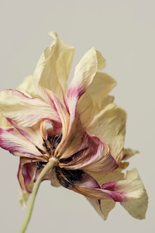 Dried anemone flower on a gray background