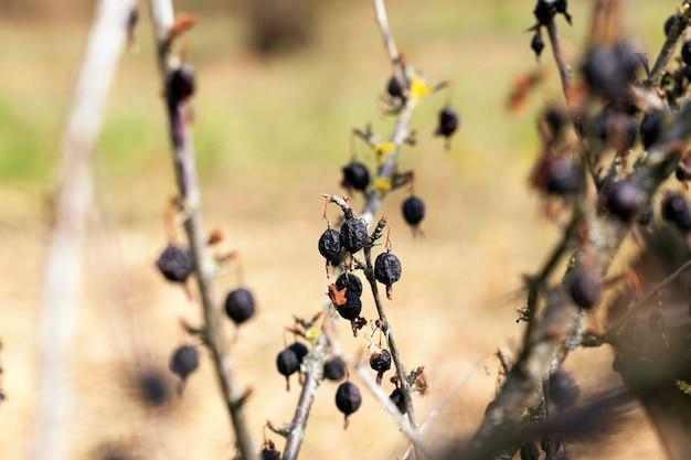 Урожай сушеных ягод сфотографировал крупным планом ягод черной смородины на кусте