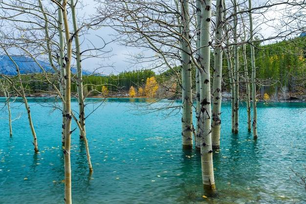 乾燥した白樺の枝とエメラルドグリーンの水面に落ちた黄金の葉