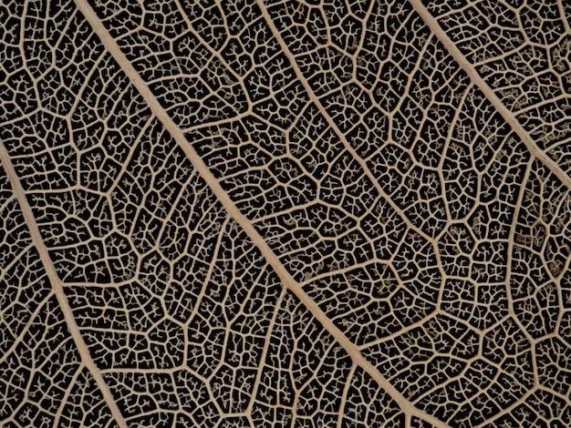 Dried bodhi leaf on black background