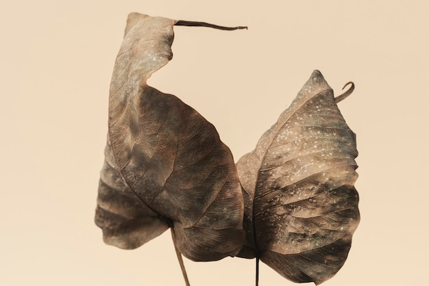 Dried bodhi leaves textured background