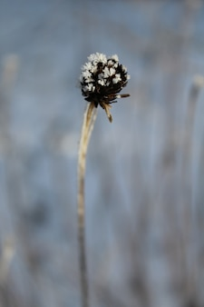 Dried brown tansy seedpods with frost on top