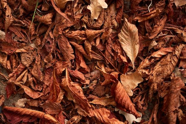 秋の栗の木の葉を乾燥