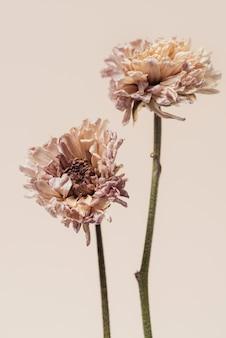 Высушенный цветок хризантемы на бежевом фоне
